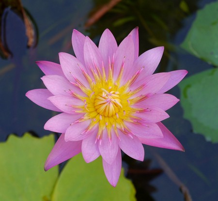 asian ancestry: Lotus flower Stock Photo