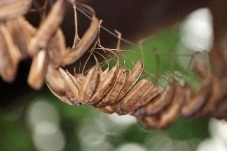 beautify: Pod of plant