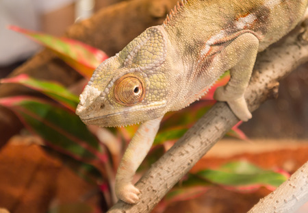 latent: Panther Chameleon