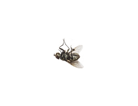 hairy back: dead flies isolated on white background.