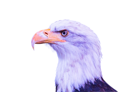 Head of a large eagle isolated on a white background.