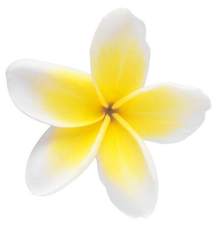 frangipani isolated on white background photo