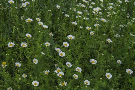 grower: Spring field of daisies