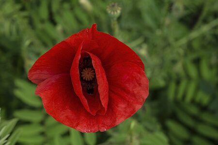 garth: Red poppy flowers on a background of green grass