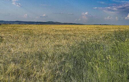 crop margin: Wide wheat field with ripe ears
