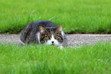 lurking: Cat lurking in the grass Stock Photo