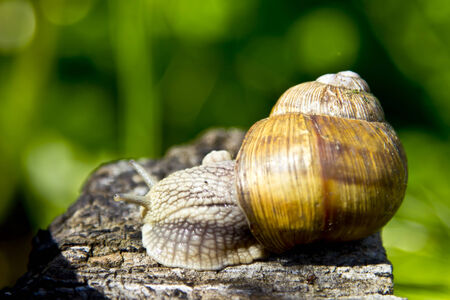 Snail in nature  photo