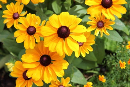 Black Eyed Susan  photo