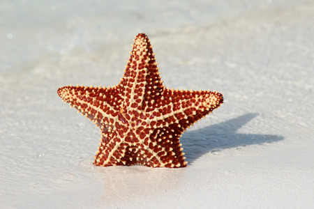 Beautiful starfish on the shore of the island of Cayo largo photo
