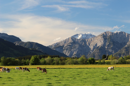 Alpine cows grazing in a meadow in the Austrian Alps photo