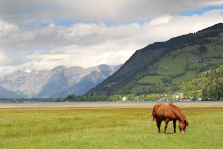 Brown horse grazing in a meadow in the Alps photo