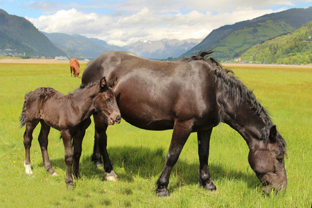 Brown horse with foal in the Alps photo