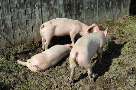 Three small pink pigs plow the ground photo