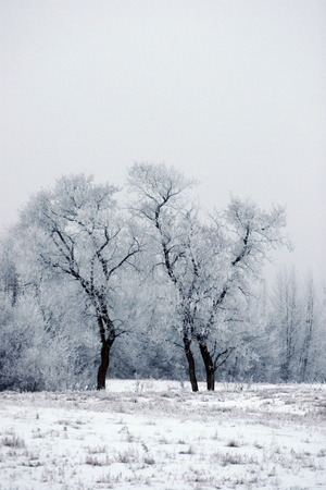 froze: Edmonton Fog that froze and created a nice condensation on the trees Stock Photo