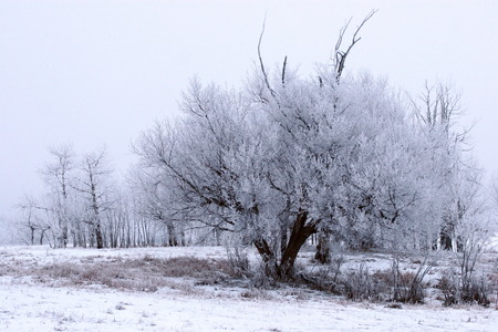 Edmonton Fog that froze and created a nice condensation on the trees 版權商用圖片