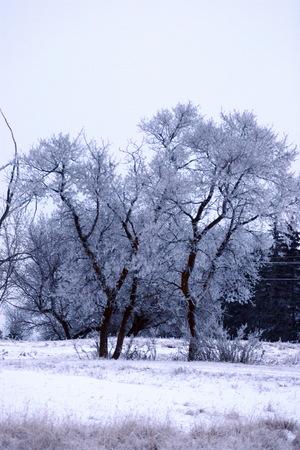 condensation: Edmonton niebla que se congeló y creó un buen condensación en los árboles
