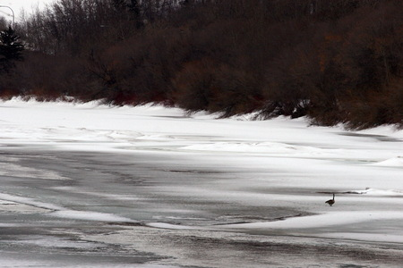 frozen river: Goose walking on the frozen river in the winter Stock Photo