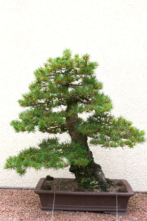 Bonsai tree at Jardin Botanique