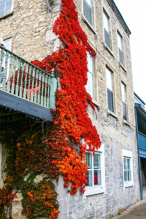 Colourful leaves on the sides of Elora houses