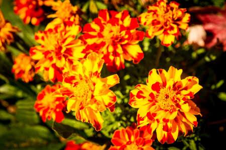 Fall Mums In Full Bloom Stok Fotoğraf