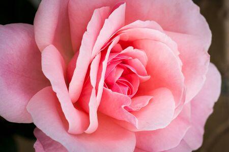 Autumn Pink Rose