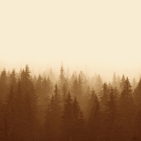 pine forest in mountains with fog