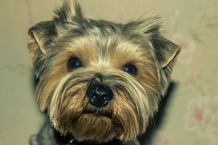 burrows: Yorkshire Terrier. A small dog for hunting small animals that live in burrows.