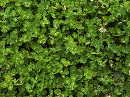 trefoil: Closeup of trefoil clover leafs forming green background. Shamrock is known Irish symbol of luck.