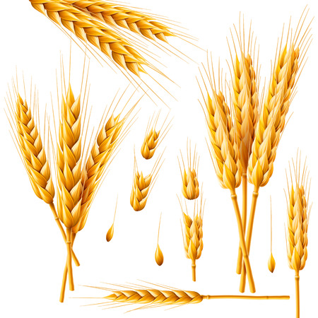 Realistic bunch of wheat, oats or barley isolated on white background. Vector set of wheat ears. Grains of cereals. Harvest, agriculture or bakery theme. Natural ingredient element. 3d illustration.