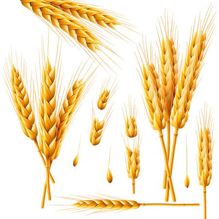 Realistisches Bündel Weizen, Hafer oder Gerste lokalisiert auf weißem Hintergrund. Vektorsatz Weizenähren. Getreidekörner. Ernte-, Landwirtschafts- oder Bäckereithema. Natürliches Bestandteilelement. Abbildung 3d. Vektorgrafik