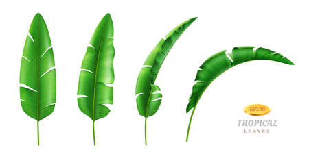 Greenery and botany, exotic and tropical foliage and leafage. Vector isolated set of leaves in different positions, cartoon green vegetation of rainforest beach. Hawaii banana plant, realistic 3d