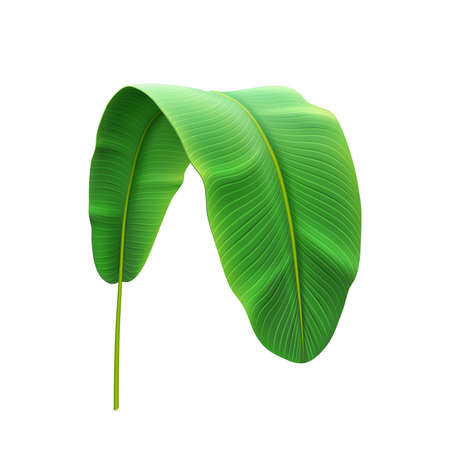 Banana plant leaf bend and curved tropical foliage, trendy botany of jungles or exotic forests. Vegetation of rainforest, hawaiian theme spring and tropics summer. Realistic 3d cartoon vector