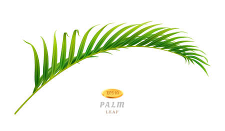 Tropical leaves and exotic flora palm tree of jungles or forests in warm climate. Vegetation and botany of rainforests. Decorative foliage of park, lush leafage curved shape. Realistic 3d vector
