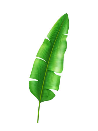 Exotic vegetation of rainforests and tropical forests, isolated wide leaf of banana or palm. Jungle and nature of exotic countries. Summertime decoration cartoon seasonal blooming. Realistic 3d vector