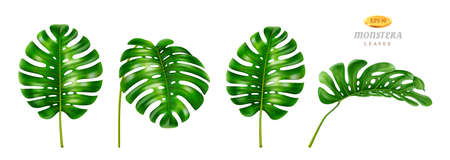 Wide leafage of monstera plant, isolated set of flowers grown in tropical climate, jungles or rainforests. Houseplants decoration for cards and invitations, realistic 3d cartoon style vector