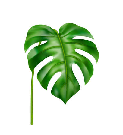 Tropical leafage and vegetation of jungles and rainforests, isolated curved monstera leaf. Houseplant with wide foliage, decoration for card. Beach vibes and exotic realistic 3d cartoon vector
