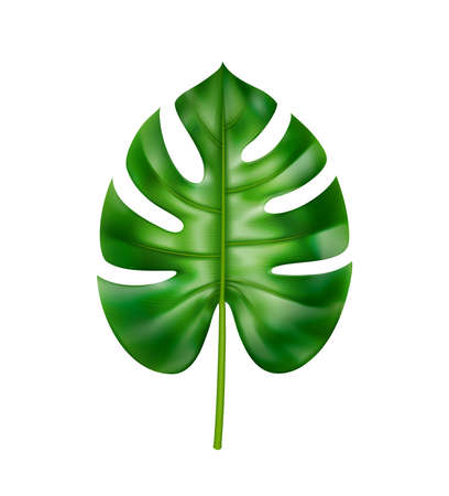 Tropical foliage and vegetation in exotic style, isolated straight leaf of monstera with holes. Leafage ornaments and decorations, jungle and rainforest, houseplant realistic 3d cartoon vector