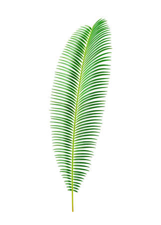 Sago palm tree tropical leaves and vegetation, isolated exotic flora elongated shape of cycas circinalis. Large leafage and greenery of islands, hawaiian theme decoration. Realistic 3d cartoon vector