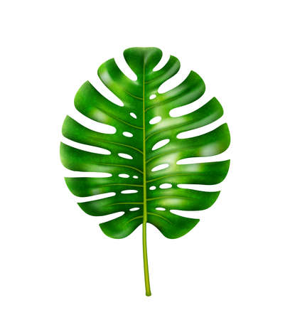 Monstera plant, isolated leafage with holes, decoration of tropics and exotic forests. Vegetation by seaside, decorative flower, exotic houseplant, home flower icon. Realistic 3d cartoon vector