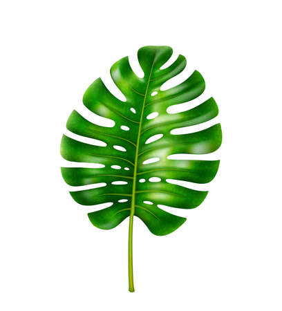 Wide leafage of monstera flower, tropical vegetation, rainforests or jungles with humid climate vegetation. Straight leaf with stem and holes. Isolated decorative element, realistic 3d cartoon vector