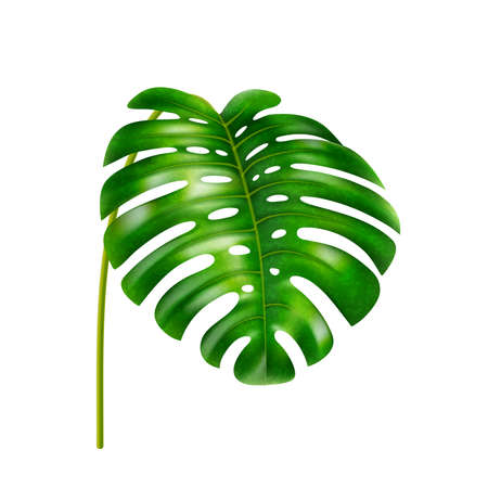 Monstera leaf with holes, stable of tropical plant, vegetation of jungles or exotic forests, rainforest greenery. Foliage and leafage in summer, wide botany shape. Realistic 3d cartoon vector