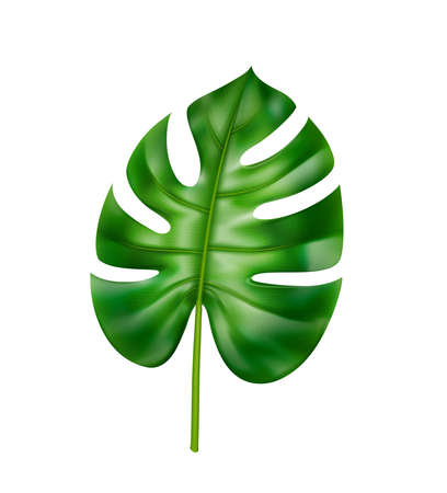 Jungle and rainforests tropical leaves and decorative foliage, isolated straight monstera leaf. Foliage and vegetation of jungles and forests, botany and houseplants. Realistic 3d cartoon vector Çizim