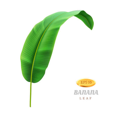 Exotic foliage of banana plant, isolated tropical leaf, greenery and floral decoration. Bending foliage and botany, vegetation of rainforest or jungle. Wild beauty realistic 3d cartoon vector