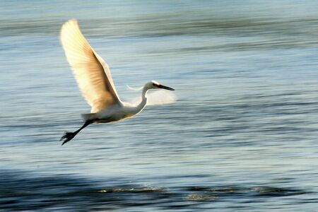 flit: a heron bird that flies combing the lake to look for lunch Stock Photo