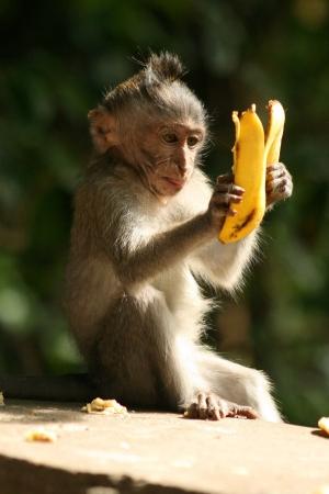 monkeys: un mono jugando con su comida