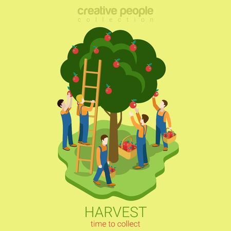 Cosecha de Apple recoger concepto de la temporada plana Web 3d isométrica del vector del concepto infografía. Los hombres se depilan las manzanas pire desde el árbol hasta la canasta. personas colección creativa.