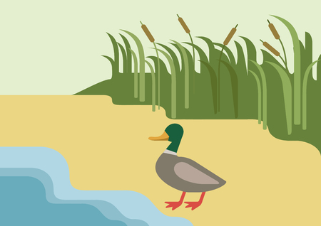 river bank: Drake duck on river bank habitat background flat design cartoon vector farm wild animals birds. Flat zoo nature children collection. Illustration