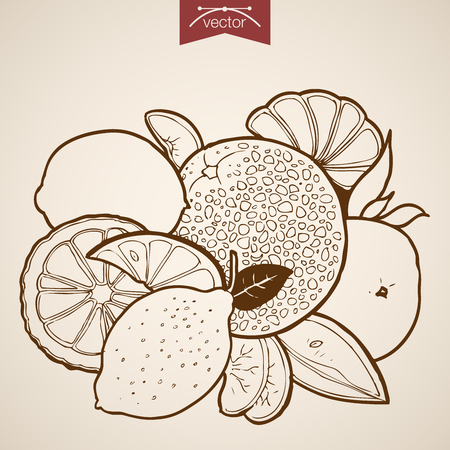 lobule: Engraving vintage hand drawn vector citrus Fruit. Pencil Sketch lemon, orange, papaya, lobule illustration. Illustration