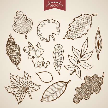 herbarium: Engraving vintage hand drawn vector leaves collection. Pencil Sketch oak maple briar leaf herbarium illustration.