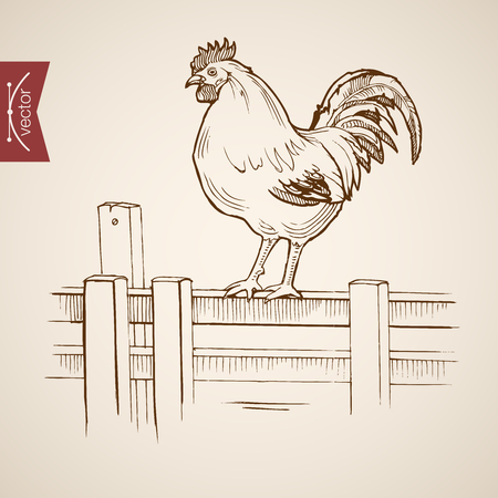 fences: Engraving vintage hand drawn vector domestic cock standing on wood fence. Pencil Sketch farm bird illustration. Illustration